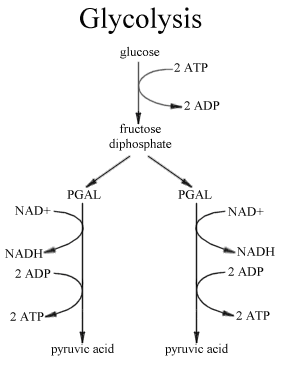 Class eleven biology respiration in plants glycolysis steps of respiration ccuart Images