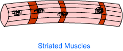 Muscle Tissue1