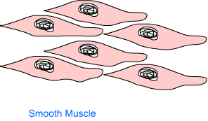 Muscle Tissue2