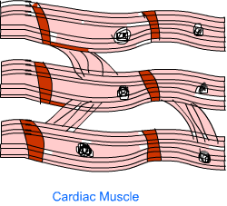 Muscle Tissue3