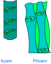 class nine science plant tissues subject notes Xylem Tissue Type