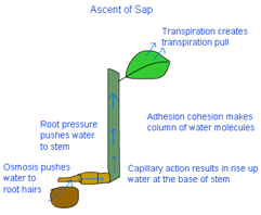 class ten science life processes ascent of sap in plant
